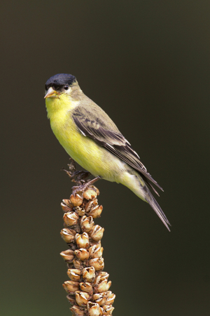 goldfinch: Male Lesser Goldfinch (Carduelis psaltria) on a mullion stalk Stock Photo