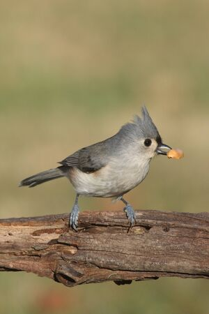 bicolor: Hungry Tufted Titmouse (baeolophus bicolor) with a peanut Stock Photo