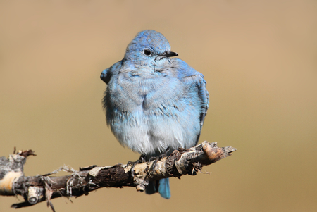 bluebird: Male Mountain Bluebird (Sialia currucoides) in Yellowstone National Park Stock Photo
