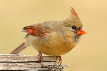 Female Northern Cardinal (cardinalis cardinalis) on a fence with a colorful background photo