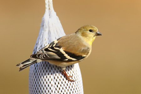songbird: American Goldfinch (Carduelis tristis) perched on a thistle feeder with a tan background