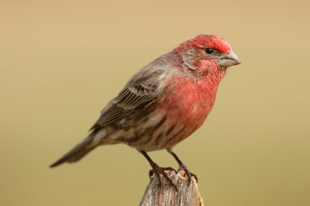 fence post: Male House Finch (Carpodacus mexicanus) on a fence post