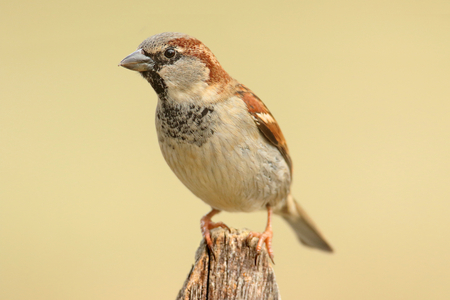 House Sparrow (Passer domesticus) perched on a fence with a tan background