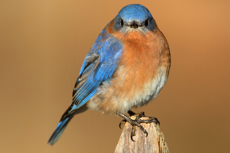 eastern bluebird: Male Eastern Bluebird (Sialia sialis) on a perch with a brown background