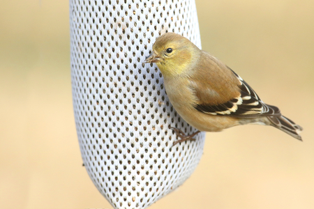 bird feeder: American Goldfinch (Carduelis tristis) perched on a thistle feeder with a tan background