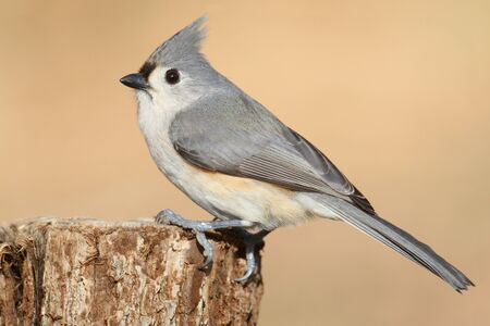 titmouse: Tufted Titmouse (baeolophus bicolor) on a stump with a tan background