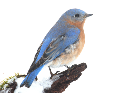 Male Eastern Bluebird (Sialia sialis) on a snow covered perch with a white background