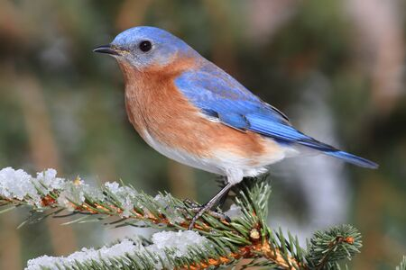 Male Eastern Bluebird (Sialia sialis) on a snow covered perch Stock Photo