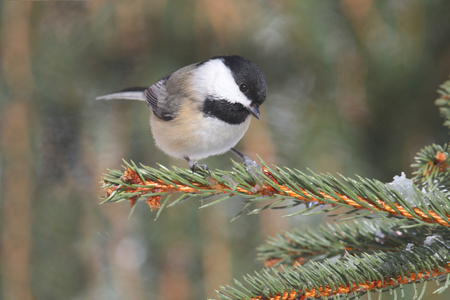 chickadee: Black-capped Chickadee (poecile atricapilla) on a branch in winter Stock Photo