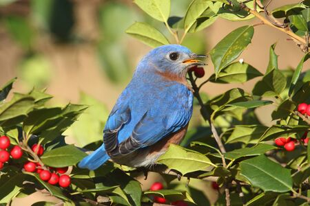 eastern bluebird: Male Eastern Bluebird (Sialia sialis) perched in a holly bush Stock Photo