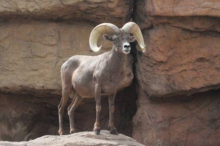bighorn sheep: Maschio Bighorn Sheep (Ovis canadensis) su una rupe rocciosa