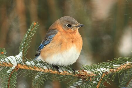 bluebird: Female Eastern Bluebird (Sialia sialis) on a snow covered perch Stock Photo