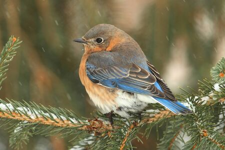 Female Eastern Bluebird (Sialia sialis) on a snow covered perch Imagens