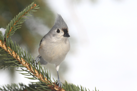 tufted: Tufted Titmouse (baeolophus bicolor) on a tree in winter