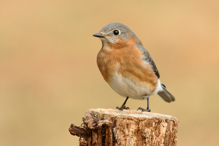 Female Eastern Bluebird (Sialia sialis) on a perch