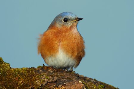 eastern bluebird: Eastern Bluebird (Sialia sialis) on a moss covered perch with a blue background Stock Photo