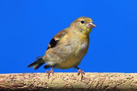 goldfinch: American Goldfinch (Carduelis tristis) on a perch with a blue background