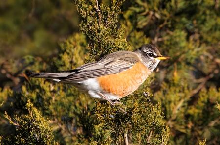 turdus: American Robin (Turdus migratorius) in a cedar tree in winter