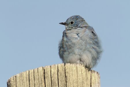 bluebird: Male Mountain Bluebird (Sialia currucoides) on a post in Yellowstone National Park Stock Photo