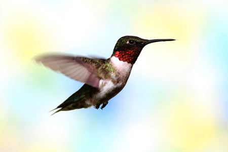 ruby throated: Ruby-throated Hummingbird (archilochus colubris) with a lightly colored floral  background Stock Photo