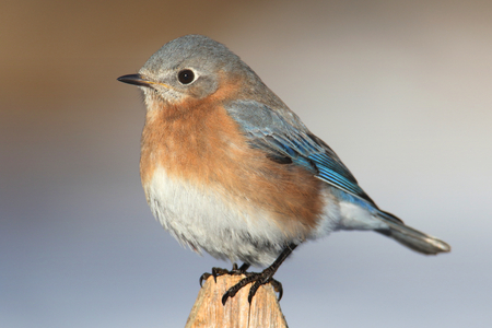 Female Eastern Bluebird (Sialia sialis) on a fence post