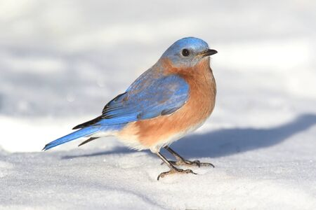 bluebird: Male Eastern Bluebird (Sialia sialis) on the ground with snow