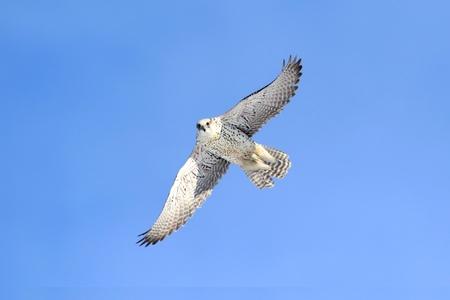 Rare (Gyrfalcon Falco rusticolus) in flight against a blue sky 版權商用圖片
