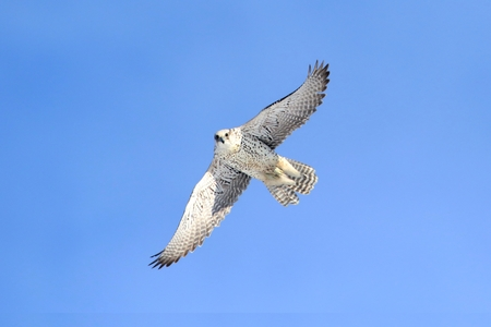 Rare (Gyrfalcon Falco rusticolus) in flight against a blue sky Standard-Bild