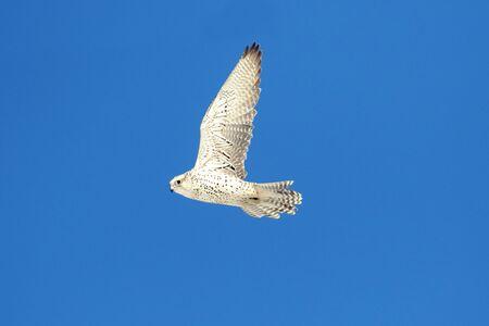 falco: Rare (Gyrfalcon Falco rusticolus) in flight against a blue sky Stock Photo