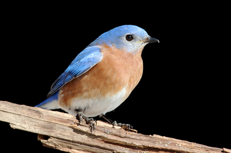 bluebird: Male Eastern Bluebird (Sialia sialis) on a perch with a black background Stock Photo