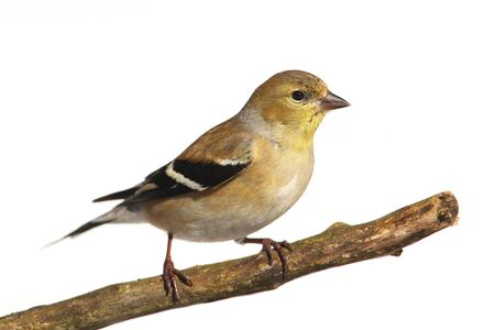 goldfinch: American Goldfinch (Carduelis tristis) perched in a tree with a white background Stock Photo
