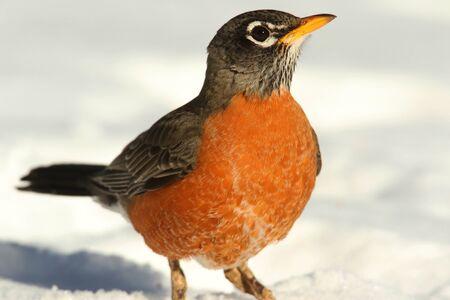 Amerikaanse Robin (Turdus migratorius) op een gazon met sneeuw