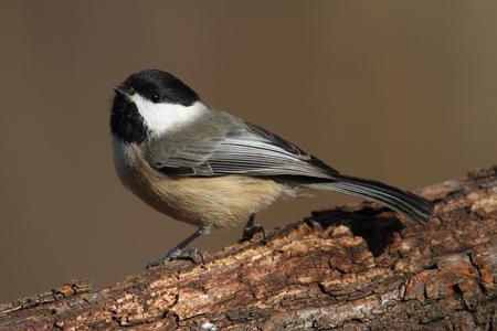 carolinensis: Carolina Chickadee (Poecile carolinensis) on a branch in winter