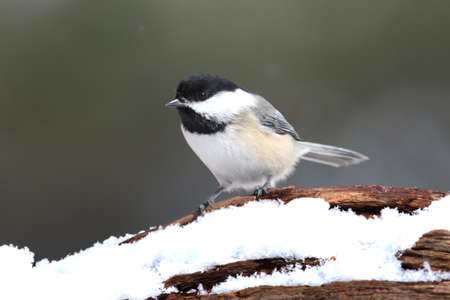 poecile: Black-capped Chickadee (poecile atricapilla) on a branch in falling snow Stock Photo