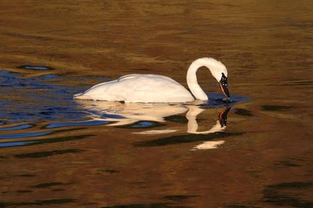 cygnus buccinator: Endangered Trumpeter Swan (Cygnus buccinator) swimming in Yellowstone National Park Stock Photo