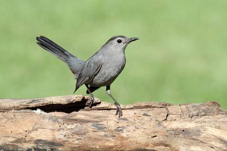 gray catbird: Gray Catbird (Dumetella carolinensis) on a  log with a green background