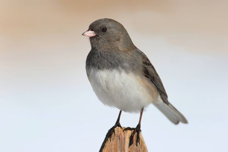 fence post: Dark-eyed Junco (junco hyemalis) on a fence post in winter Stock Photo