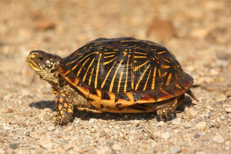 cold blooded: Western Box Turtle (Terrapene ornata) in the flint hills of Kansas