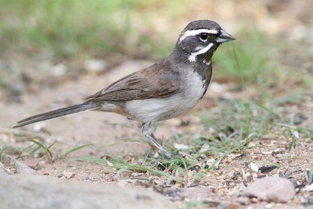 bilineata: Black-throated Sparrow (Amphispiza bilineata) on the ground Stock Photo