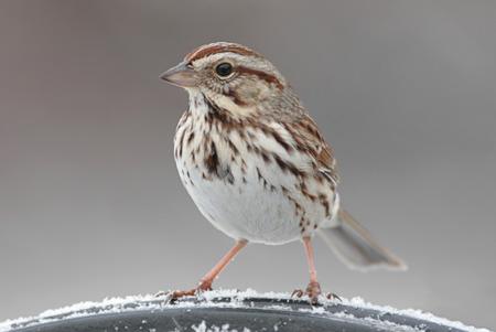 Gorrión de canción (melodia del Melospiza) en una percha en invierno Foto de archivo - 37154974