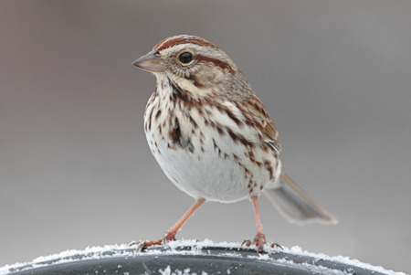 Song Sparrow (Melospiza melodia) on a perch in winter