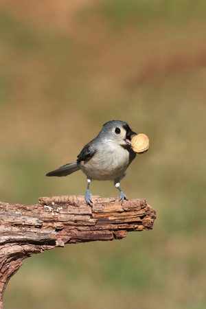 tufted: Hungry Tufted Titmouse (baeolophus bicolor) with a peanut and negative space