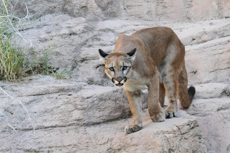 cougar: Mountain Lion (Puma concolor) also known as a Cougar or Puma Stock Photo