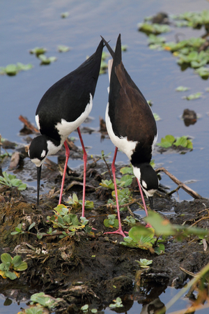 himantopus: Pair of Black-necked Stilts (Himantopus mexicanus) in the Florida Evergaldes