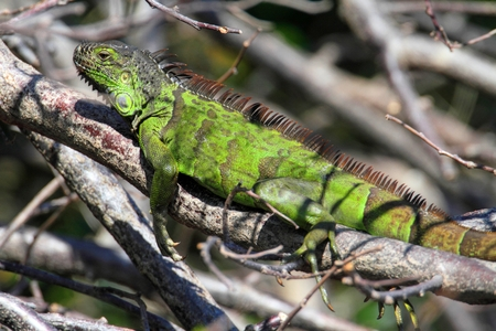 cold blooded: Green Iguana in southern Florida - an invasive species Stock Photo