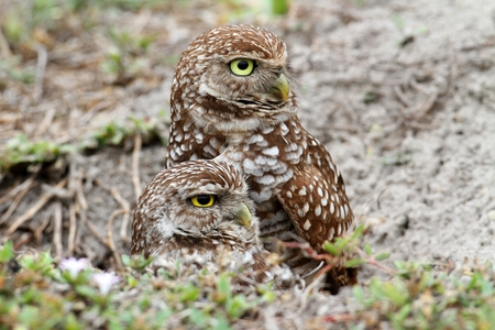 athene: Burrowing Owl (athene cunicularia) by a nest hole in the Florida Everglades