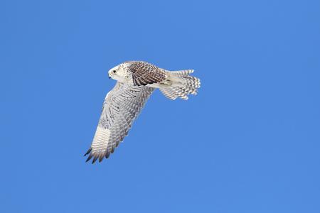 Rare (Gyrfalcon Falco rusticolus) in flight against a blue sky Stock Photo