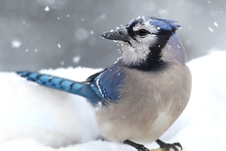 blue jay bird: Blue Jay (corvid cyanocitta) on a perch in wither with snow Stock Photo
