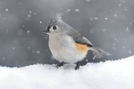 titmouse: Tufted Titmouse (baeolophus bicolor) on a tree in a snow storm Stock Photo