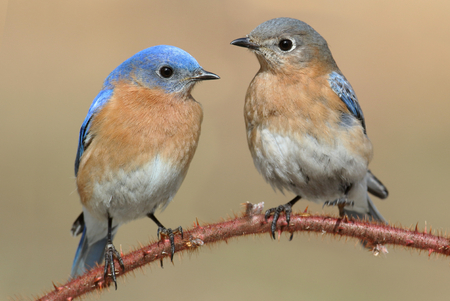 Pair of Eastern Bluebird (Sialia sialis) perched on a blackberry bush